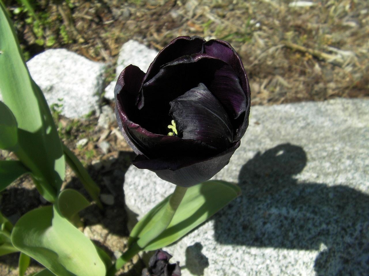 Conheça 11 Espécies De Flores Negras Bonitas E Misteriosas Mega