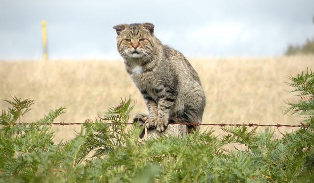 Gatos passaram a interagir com os homens com o avanço da agricultura (Crédito: Reprodução)