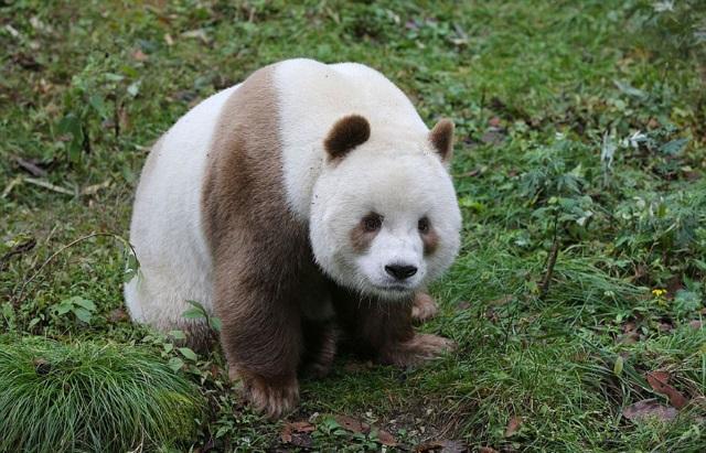 Conheça Qizai, o único urso panda marrom que existe no mundo - Mega Curioso
