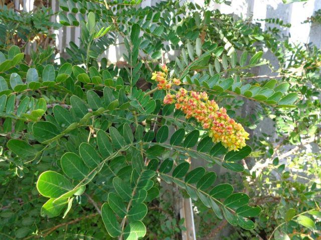9 curiosidades sobre o pau-brasil, a árvore que dá nome ao