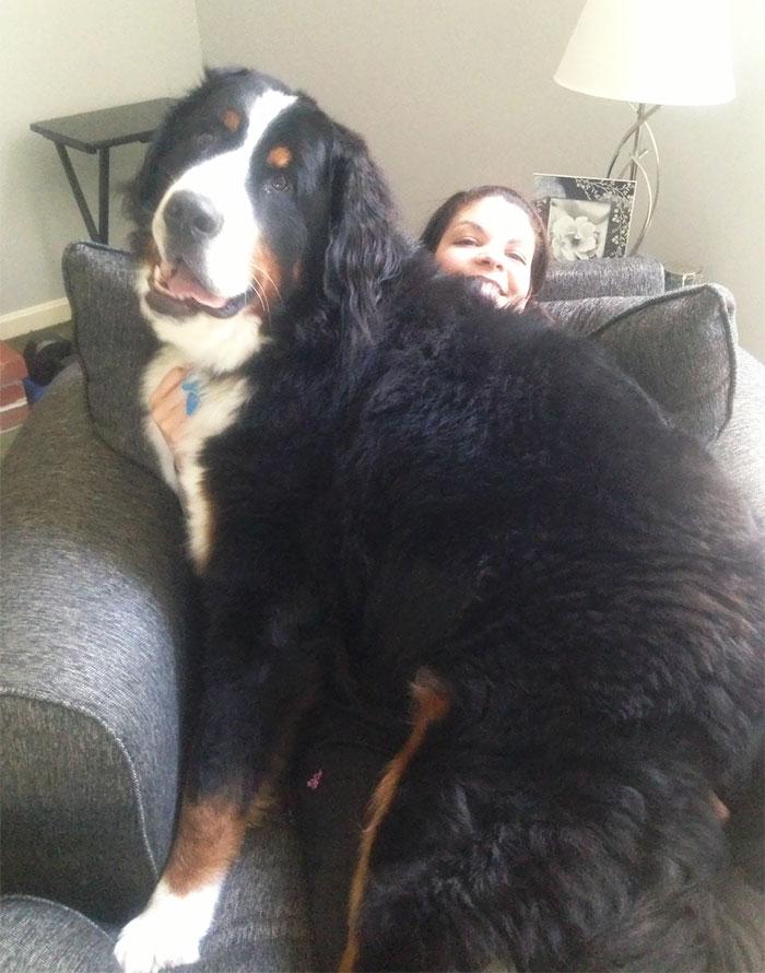 cão marrom e preto