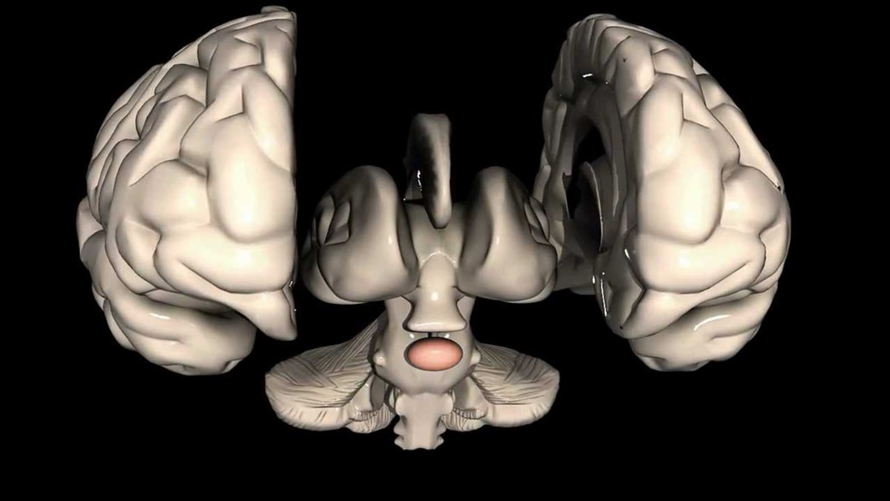 cérebro glândula pituitária