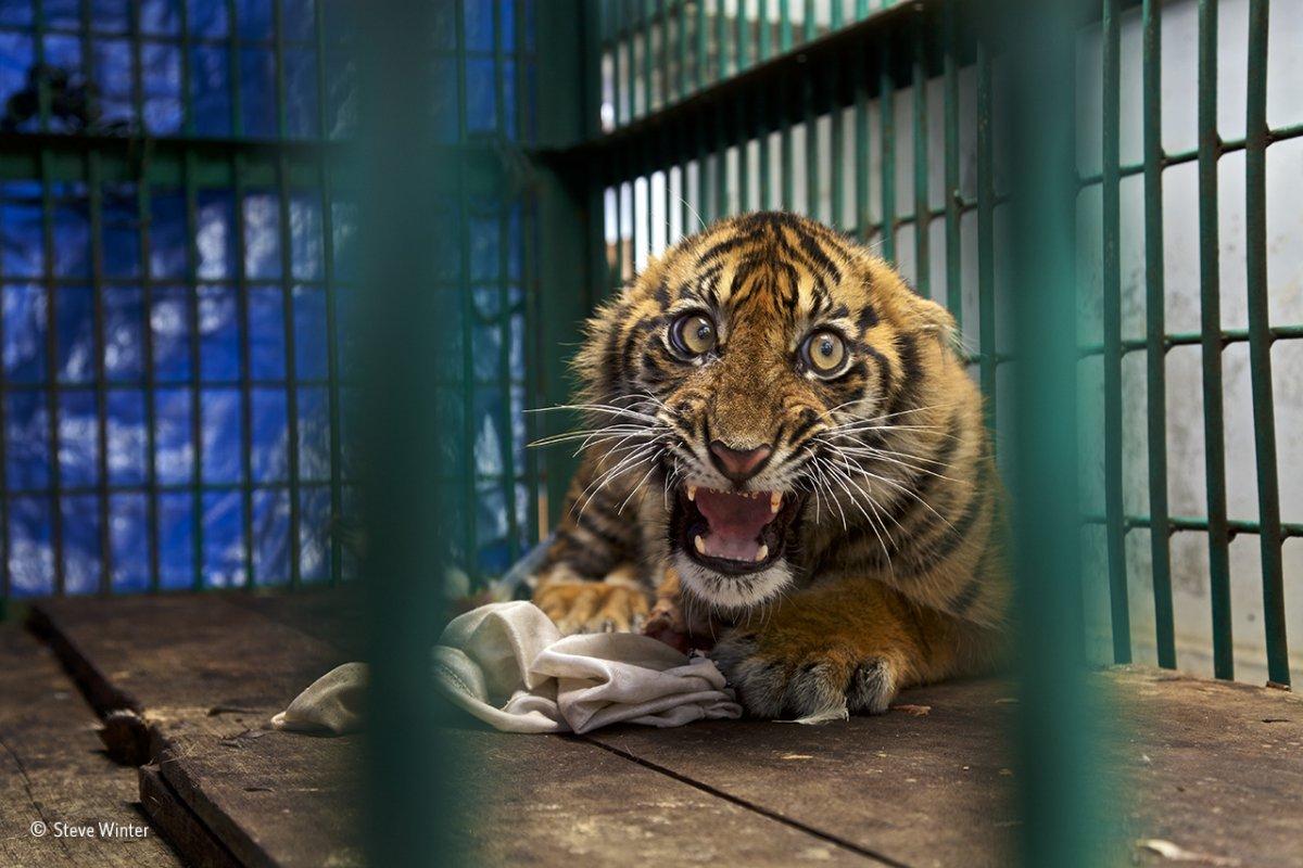 Filhote de tigre-de-sumatra