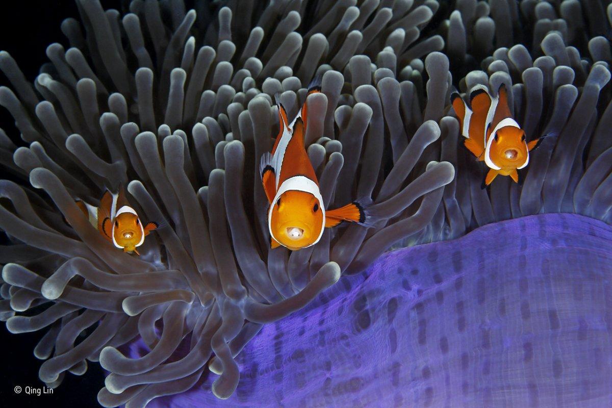 Peixes-palhaço