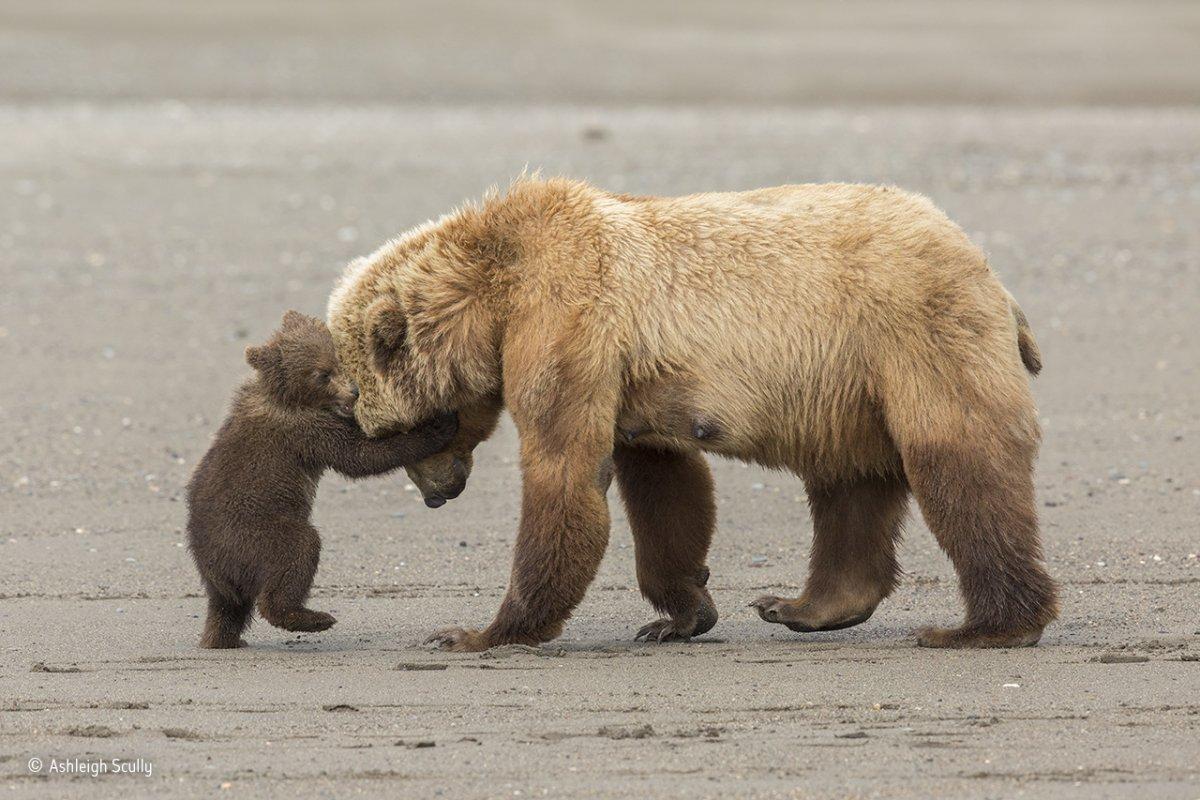 Um urso pardo e seu filhote