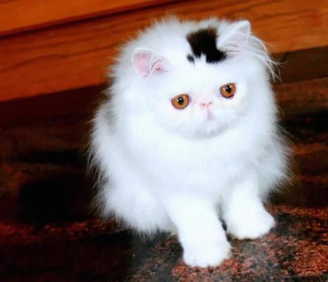 gato cartola