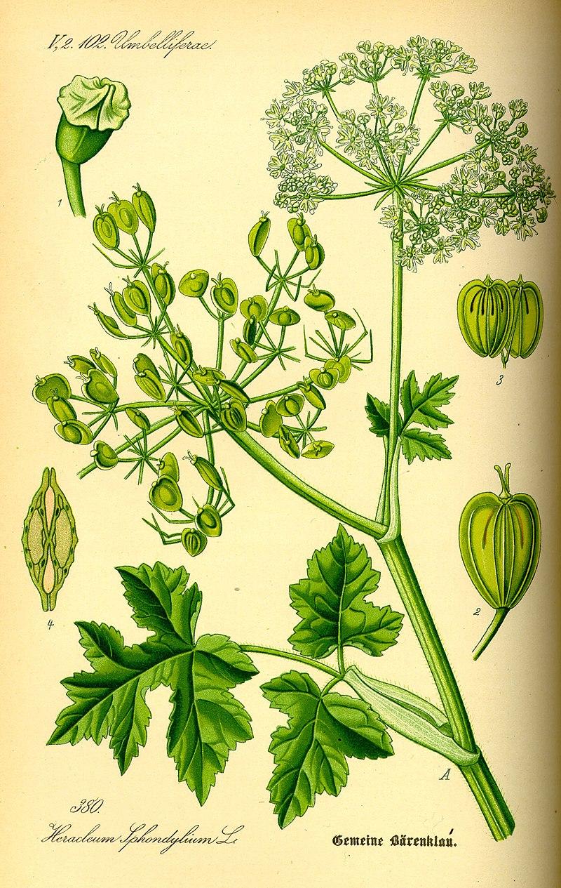 Ilustração de uma planta