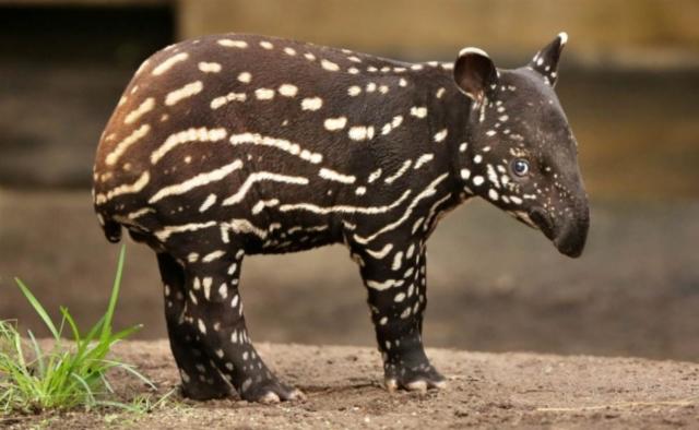 Tapirus