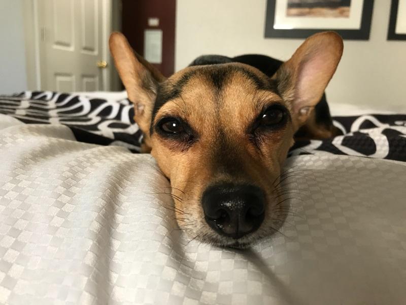 Um cão deitado em uma cama