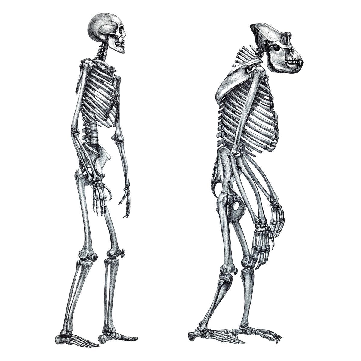 Humano comparado com gorila