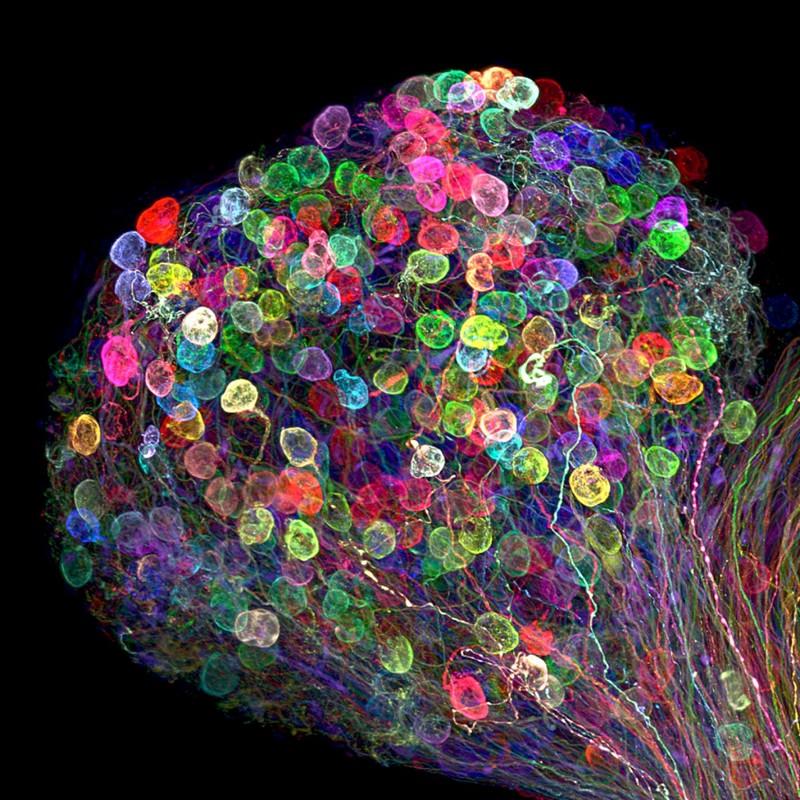 Cérebro embrionário
