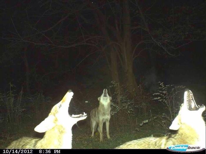 lobos uivando