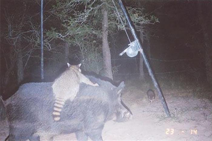 Porco e guaxinim
