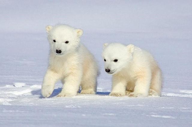 Ursos-polares