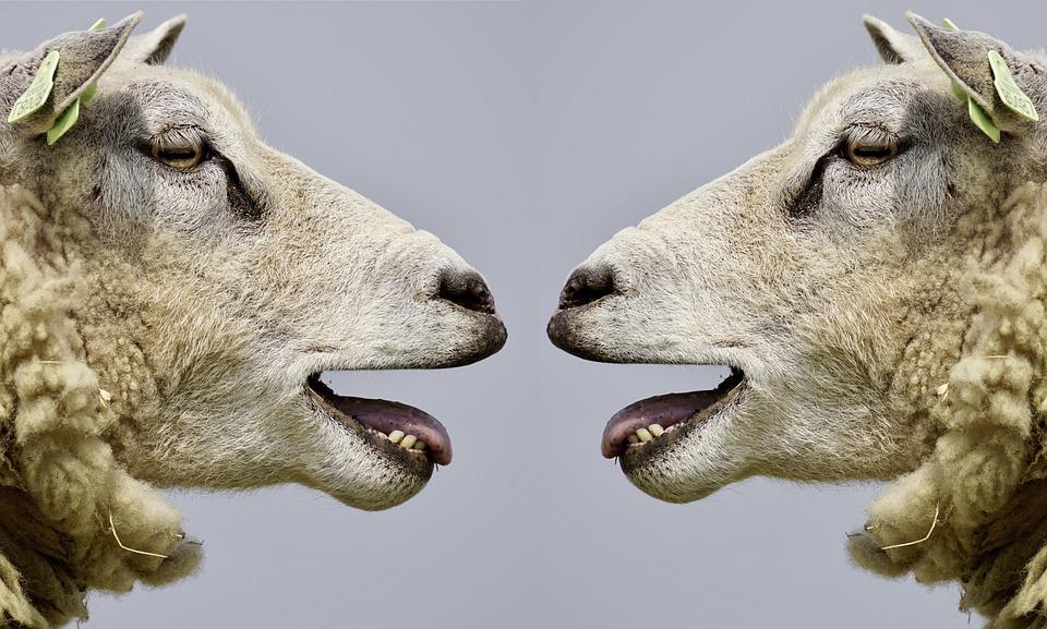 Ovelhas espertas