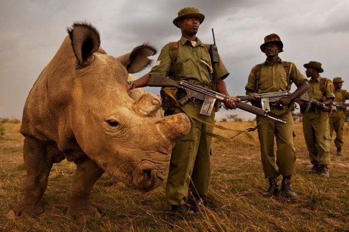 Rinoceronte branco do norte