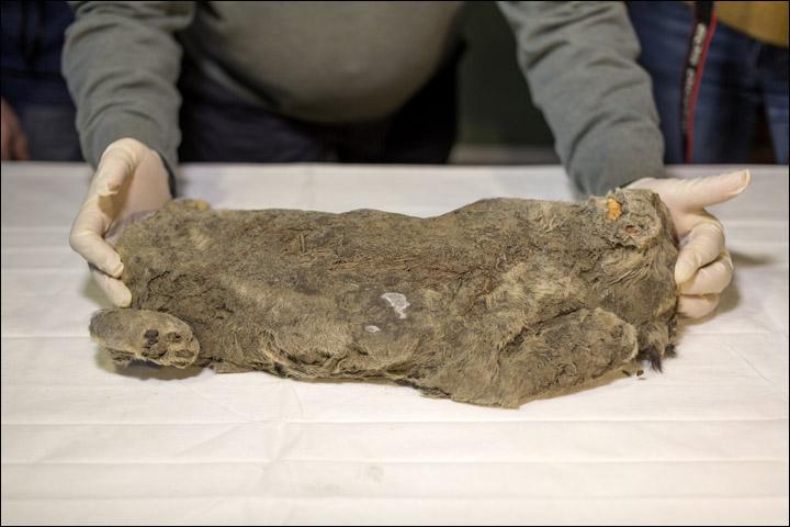 Leão mumificado