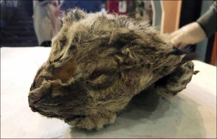 Leãozinho mumificado