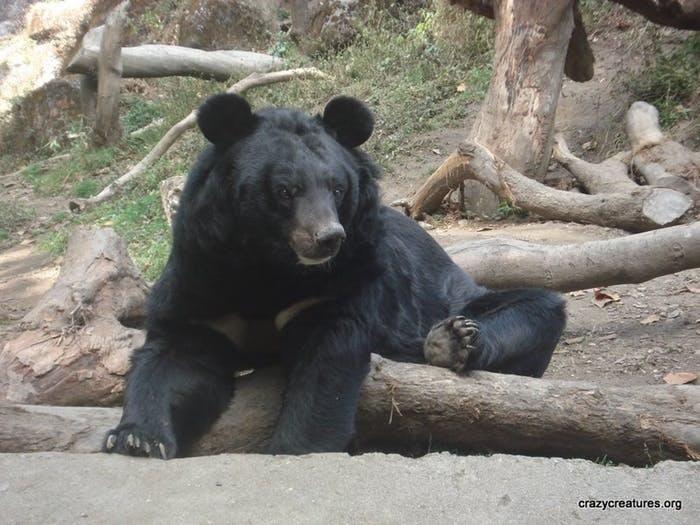 Urso negro do Himalaia