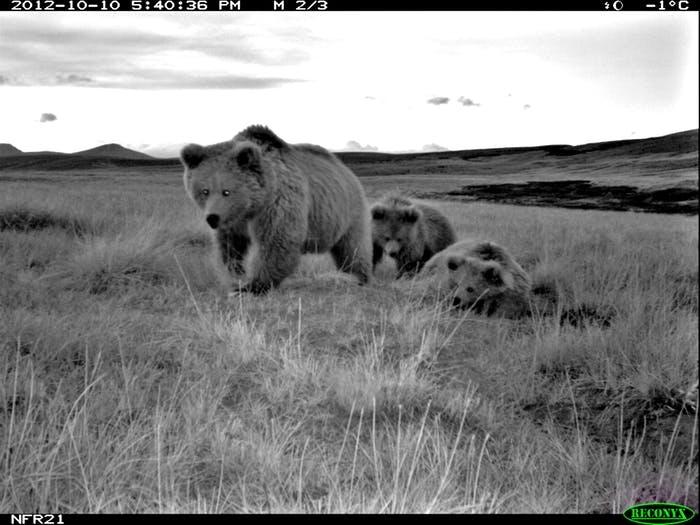 Ursos marrons do himalaia