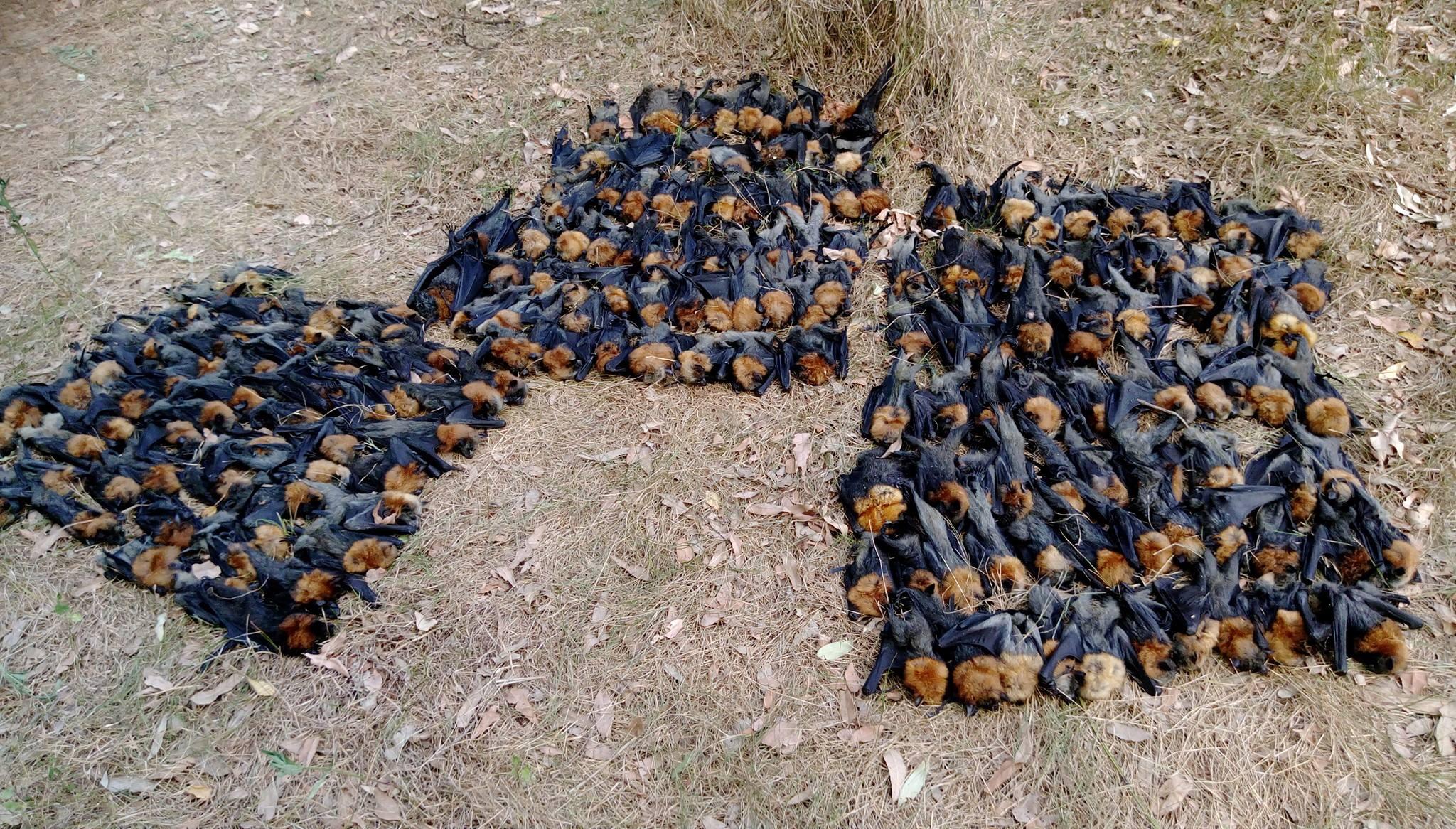 Morcegos mortos na Austrália