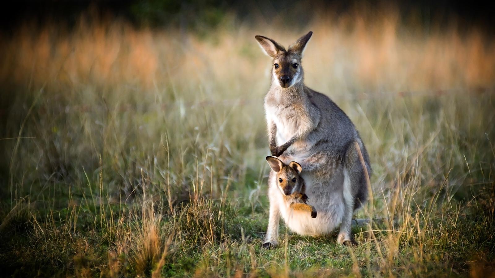 Canguru e seu filhote