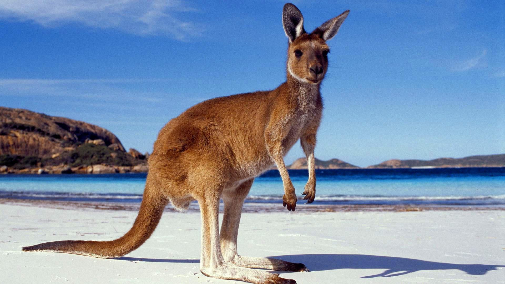 Canguru em praia