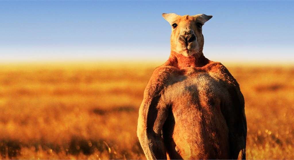Canguru musculoso