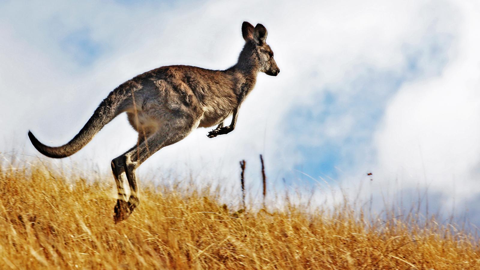Canguru saltitando
