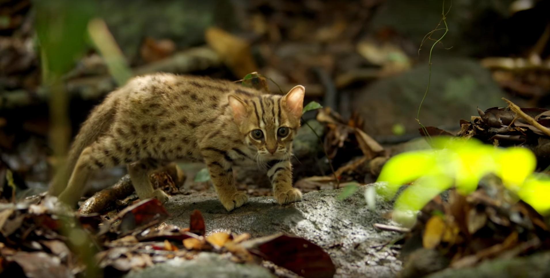 Gato-ferrugem-pintado