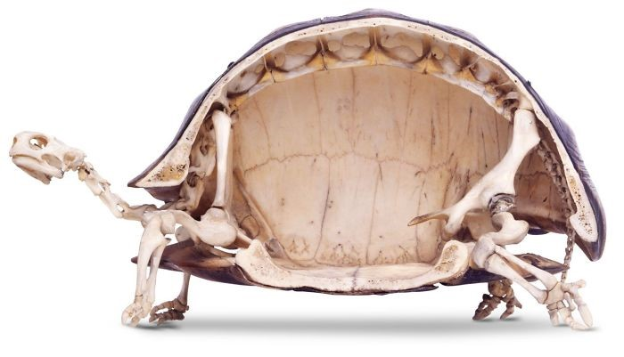 Esqueleto de tartaruga