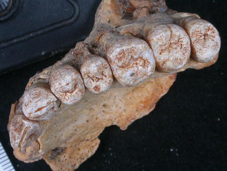 Fóssil humano