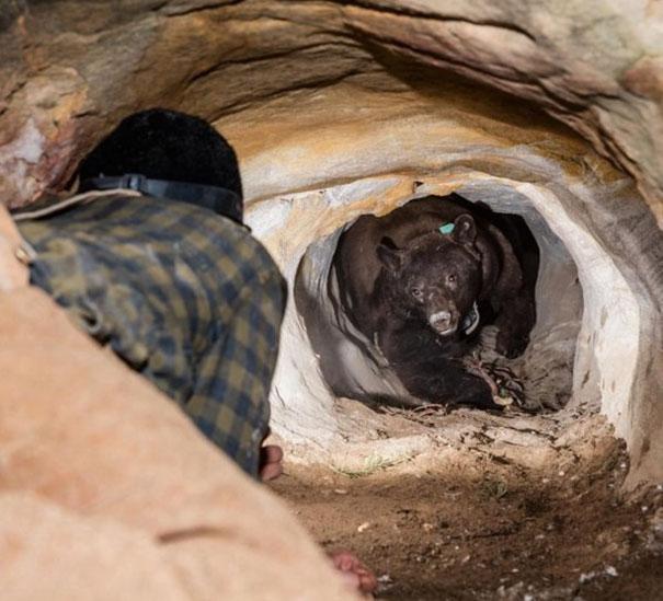 Urso em caverna
