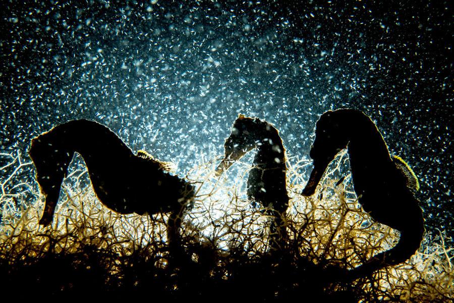 Cavalos marinhos