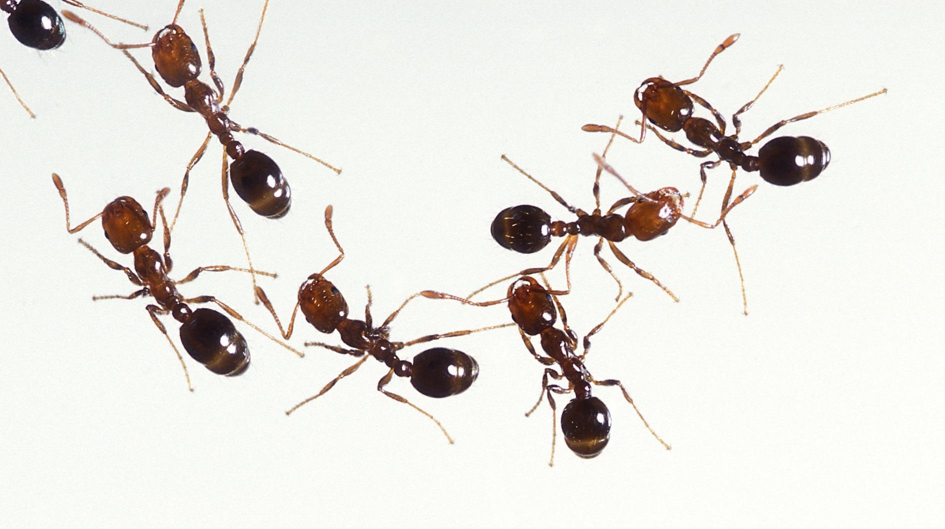 Formigas lava pés