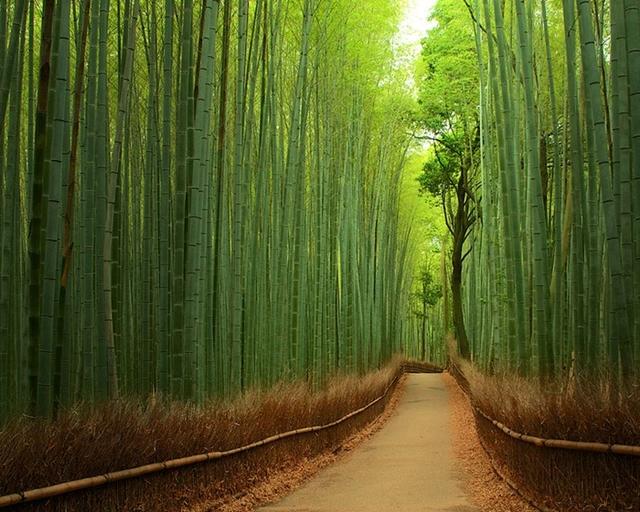Trilha por entre bambu