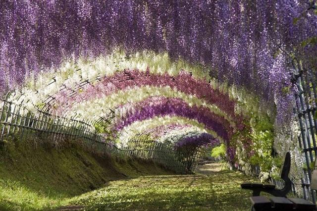 Túnel de Glicínias, no Japão