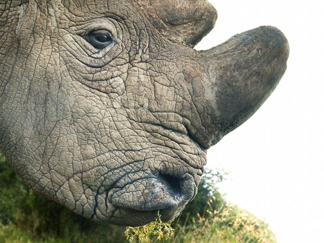 Morre Sudan, o último rinoceronte-branco macho que restava no mundo ... 25465dbbfd
