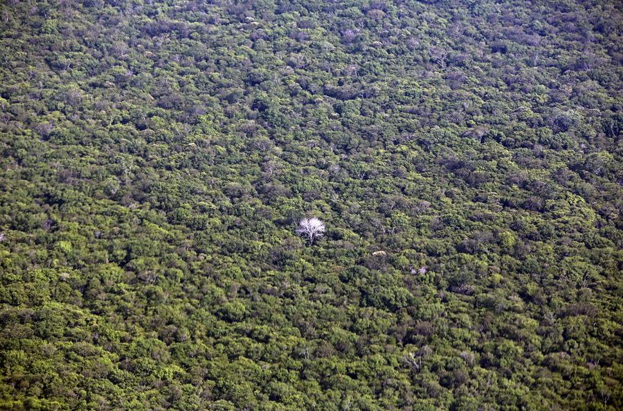 Árvore albina na floresta