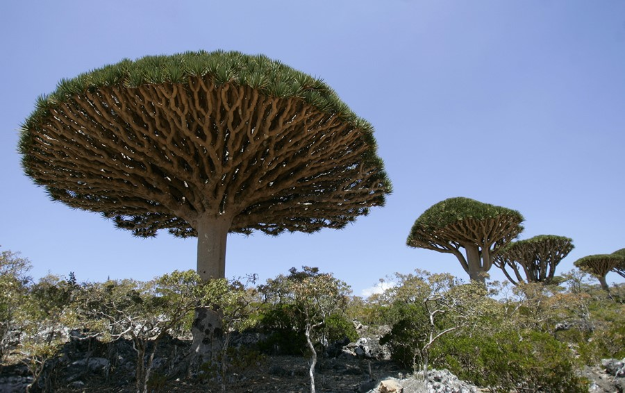 Dragoneiros em Socotra