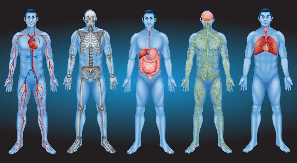 Novo órgão humano