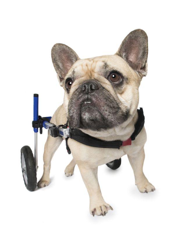 Cão na cadeira de rodas