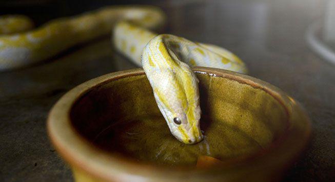 Cobra bebendo água