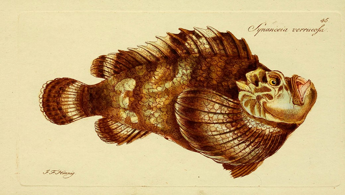 Ilustração de peixe pedra