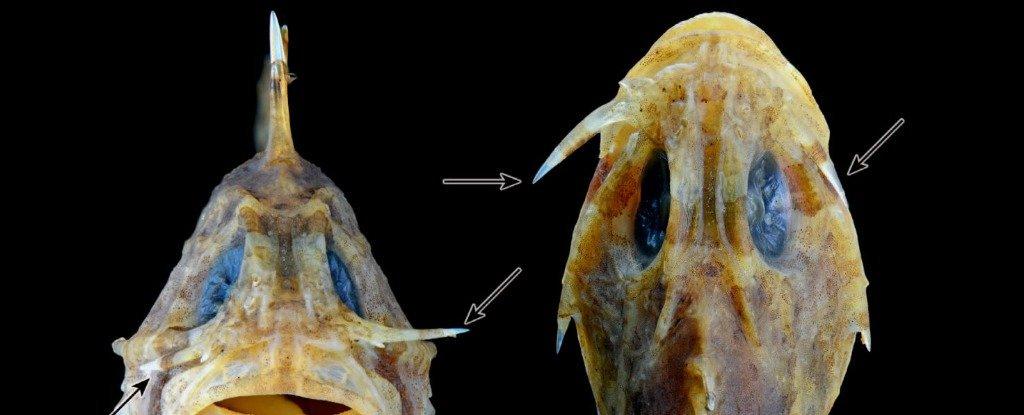 Sabre lacrimal do peixe pedra