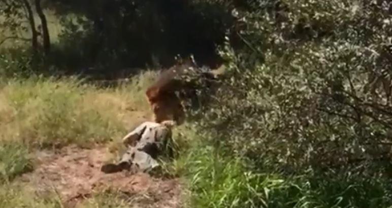 Homem atacado por leão