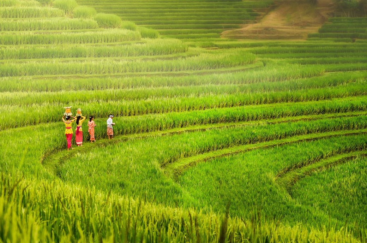 Arrozais em Bali