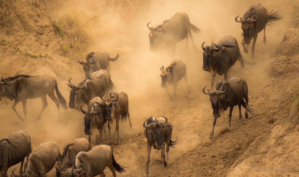 Migração de animais