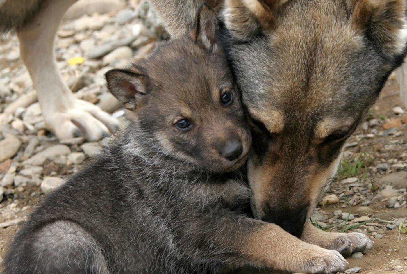 Filhote de lobo