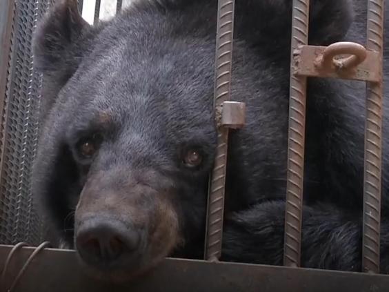 Urso criado como cachorro